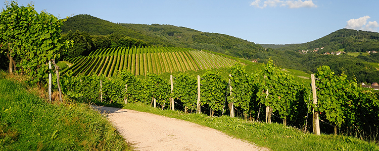 de_0061_germany - vineyard landscape in summer